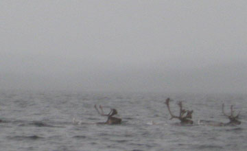 Caribou swimming