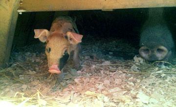Pearl Morissette's piglets