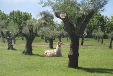 A llama  in Trapiche's olive grove