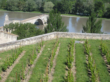 Vineyard in the grounds of the Papal Palace, Avignon