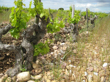 100-year-old Grenache vine at Vieux Telegraphe's La Crau vineyard