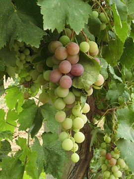 Table grapes in Guofeng's vineyard, Bangiao