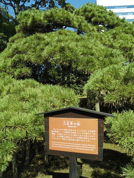 300-year-old fir tree